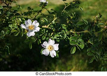 ヒップ, 花, バラ, 緑の背景, 白