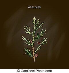 ヒマラヤスギ, 白, 木