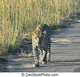 ヒョウ, 中に, アフリカ