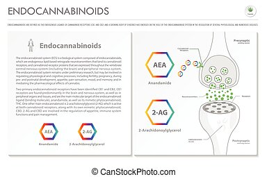 ビジネス, infographic, 横, endocannabinoids