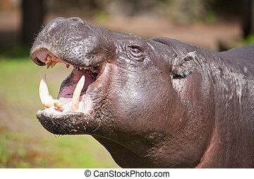 ピグミーのhippopotamus