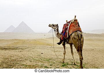 ピラミッド, ギザ, らくだ