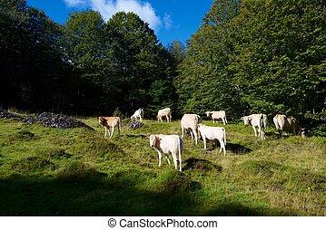 ピレネー山脈, 牛