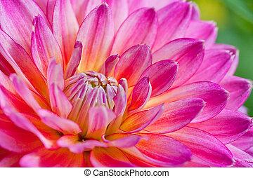 ピンクと黄色, 葉, 上に, ダリア