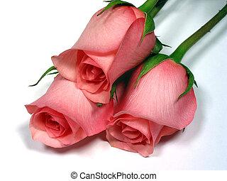 ピンクのバラ, 白い背景