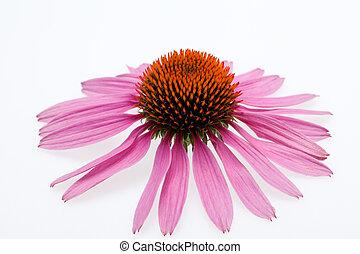 ピンクの背景, 隔離された, coneflower, 白, 頭