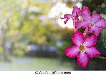 ピンクの花, バラ, ユリ, 砂漠, トロピカル, インパラ, ∥あるいは∥