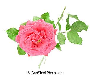 ピンクの花, バラ, 隔離された, 背景, 白