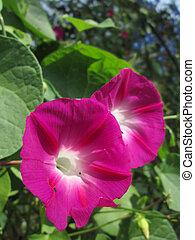 ピンクの花, 栄光, 朝