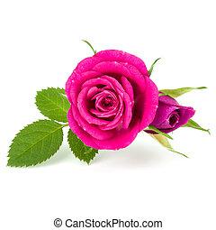 ピンクの花, 花束, バラ, 隔離された, 背景, 白, 切抜き