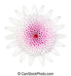 ピンクの花, 隔離された, デイジー, 白, タイプ