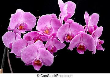ピンクの花, 隔離された, 黒い背景, 蘭