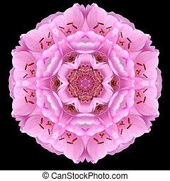 ピンクの花, 隔離された, 黒, mandala, 万華鏡