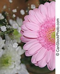 ピンクの花, gerbera