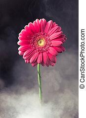 ピンクの花, gerbera, 煙