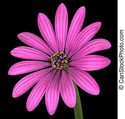 ピンクの花, osteospermum, 隔離された, 黒, すみれ