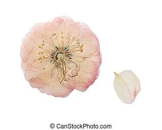 ピンクの花, rose., 隔離された, 押された, 野生, 乾かされた
