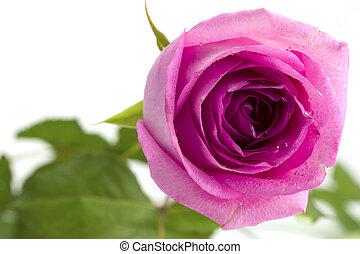 ピンクは 上がった, 白い背景