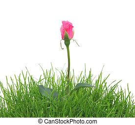 ピンクは 上がった, 白, 草, 隔離された