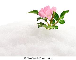 ピンクは 上がった, snow.