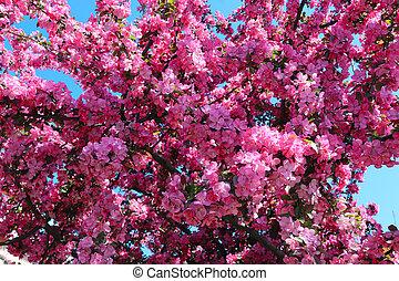 ピンク, さくらんぼ, 咲く