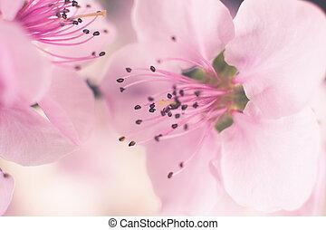 ピンク, さくらんぼ, 花