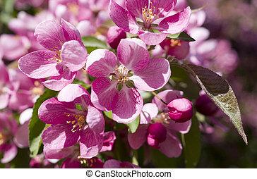ピンク, さくらんぼ, nature., 木, flowers., 背景, 咲く