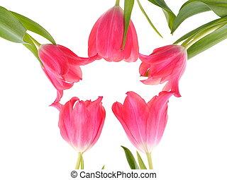 ピンク, チューリップ, 白い背景