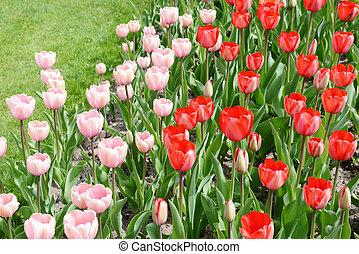ピンク, チューリップ, 花壇