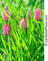 ピンク, チューリップ, 草, 緑の背景