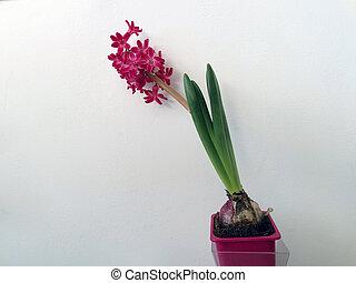 ピンク, ヒヤシンス, 花, 花, ポット, 隔離された, 背景, 白