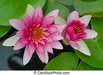 ピンク, ロータス, 水, 花, 咲く, 池, 花, ユリ, ∥あるいは∥