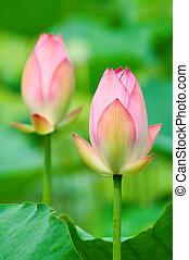 ピンク, ロータス, 花