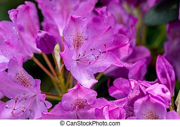 ピンク, 偉人, 花, 装飾, 庭, 咲く, rhodenron., (どれ・何・誰)も