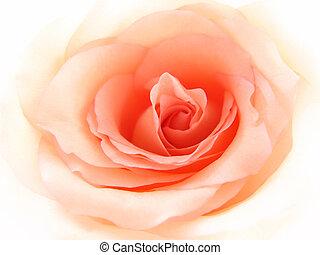 ピンク, 優しい, バラ