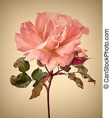 ピンク, 型, 庭, バラ