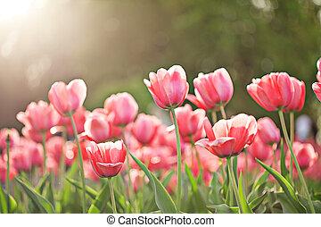 ピンク, 春の花, 咲く, チューリップ