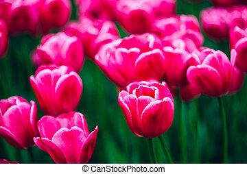ピンク, 春の花, 庭, チューリップ