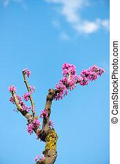 ピンク, 春, つぼみ
