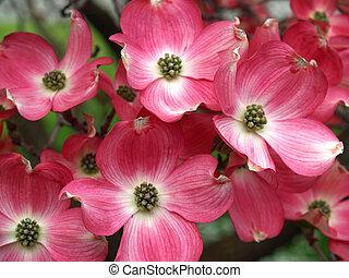 ピンク, 木, 春, 高さ, ミズキ, 花