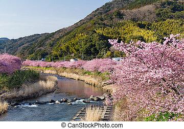 ピンク, 桜の木, kawazu, 花, 日本, 静岡