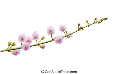 ピンク, 白い花, 背景