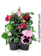 ピンク, 箱, 花, 隔離された, パンジー, 背景, 実生植物, トレー