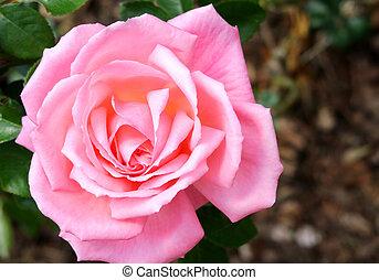 ピンク, 終わり, バラ