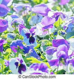 ピンク, 終わり, パンジー, 紫色, 庭, の上, 花