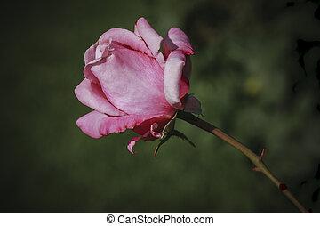 ピンク, 終わり, rose., の上