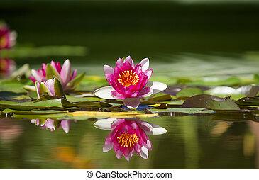 ピンク, 美しい, waterlily, 中に, 緑, 池