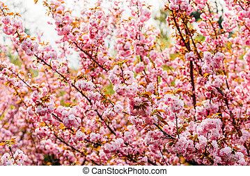 ピンク, 花, 春, 木, sakura, さくらんぼ, 花