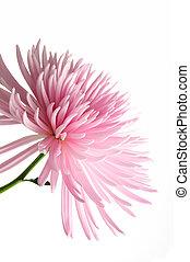 ピンク, 菊