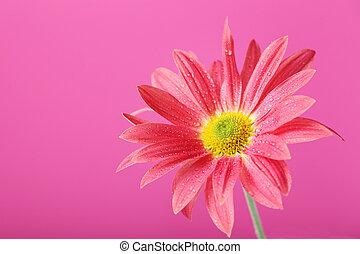 ピンク, 菊, 花, 背景